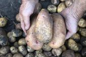 large fresh potatoes in farmer's hands