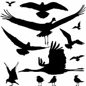 foto of robin bird  - birds black silhouettes isolated on white background - JPG