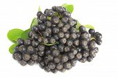 foto of aronia  - Ripe fruits of black chokeberry  - JPG