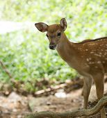 Closeup head of a whitetail deer