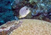Four-eyed Butterflyfish (chaetodon Capistratus)
