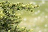 Fir Tree Branch Close-up On Defocused Green Background.