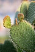 pic of nopal  - Green Prickly Pear Cactus Leaf in the late afternoon  - JPG