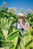 Farmer on the tobacco field