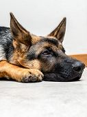 stock photo of alsatian  - Closeup of German Shepherd puppy lying down on the floor - JPG