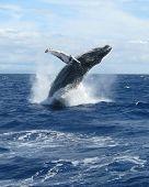 West Maui Whale