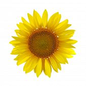 yellow sunflower on white background with path