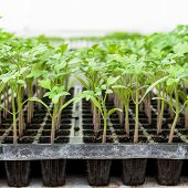Close Up Tomato Seedling On Tray