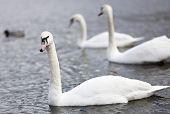 Three Swans