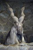 foto of goat horns  - Screw - JPG