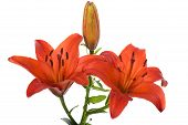 Red Lily On White