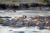 Hippos Resting In A Pool