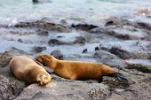 Sea lions on a rocky coast at Galapagos islands