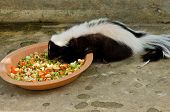Striped Skunk Or Mephitis Mephitis