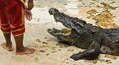 Crocodylidae Or Crocodile