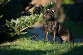 black Staffordshire bull Terrier in the Park