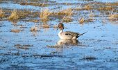 stock photo of pintail  - A Pintail Duck showing it - JPG