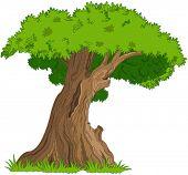 Illustration of very old oak