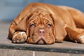 pic of puppy dog face  - very funny puppys Bordeaux dog in open air - JPG