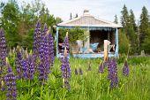 stock photo of shacks  - Purple wildflowers  - JPG