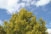 linden tree thrives
