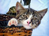 stock photo of baby cat  - Adorable tabby gray baby cat in wicker basket over blue background - JPG