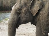 picture of elephant ear  - a big elephant with small ear and  - JPG