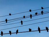 Flock of pigeons on wires