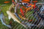 foto of koi fish  - Beautiful Koi fishes crowding in the pond - JPG