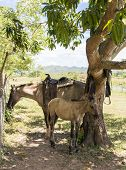foto of colt  - Female horse and colt under a mango tree in the Cuban countryside - JPG