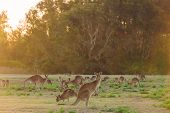 Herd Of Kangaroos At Twilight