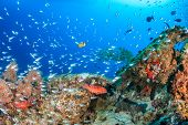 Glassfish Swarm Around A Coral Pinnacle
