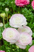 picture of buttercup  - Persian buttercup flowers  - JPG