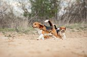 Group Of Funny Beagle Dog Running