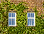 picture of ivy vine  - Classic old window with ivy growing on wall of bricks - JPG