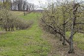 image of orchard  - Rows of apple trees blooming on a countryside orchard during springtime - JPG