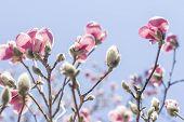pic of magnolia  - Beautiful spring bloom for magnolia tulip trees pink flowers  - JPG
