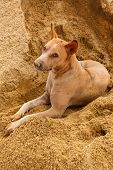 image of stray dog  - thai stray dog lying on sand floor - JPG