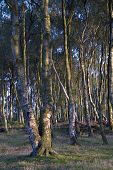 stock photo of twist  - Bewitching stand of twisted silver birch trees on Stanton Moor Derbyshire UK - JPG