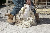 stock photo of clippers  - Mature farmer shearing sheep for wool outdoors with clipper - JPG