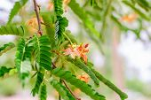 pic of tamarind  - There are flowers of tamarind and tamarind leaves - JPG