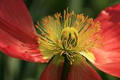 stock photo of stamen  - Close - JPG
