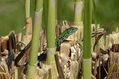 picture of marshes  - Small green lizard reptile enjoying the sunshine on marshes plant roots - JPG
