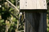 picture of tit  - Photography of a tit in a bird house - JPG