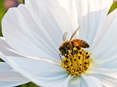 Bee Working On White Cosmos Flower
