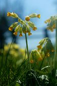 stock photo of cowslip  - Bright yellow Cowslip flowers growing wild in the Cotswolds rural English countryside with Spider sewing a web on a pale yellow leaf - JPG