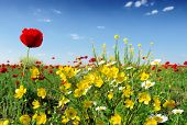 pic of nubian  -  wild flowers - JPG