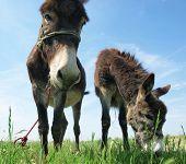 image of donkey  - Funny donkey - JPG