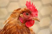 stock photo of chicken-wire  - A close up of a hen (Gallus gallus domesticus) in a chicken coop on a farm. ** Note: Shallow depth of field - JPG