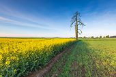 image of rape  - Rape field landscape - JPG